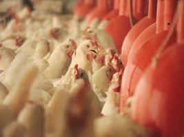 00frango_galinha11